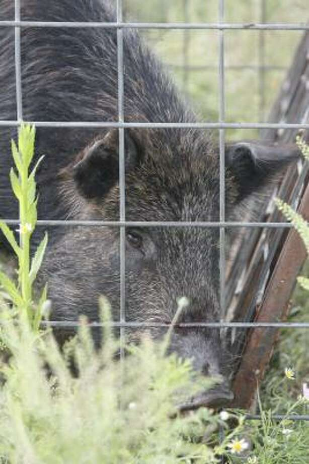 An estimated 1-2 million feral hogs live in Texas and are annually responsible for tens of millions of dollars in environmental and agricultural damage. Photo: Shannon Tompkins, Chronicle