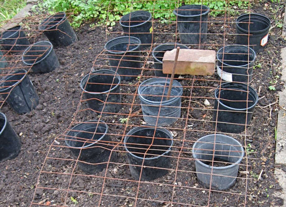 Protect seedlings from crawling pests by cutting out bottoms of old garden pots and placing around them. Then use old wire fencing placed on top to keep out the birds. Photo: Dr. Bob Randall, Urban Harvest