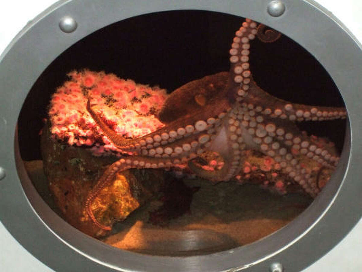 This image provided by Heal the Bay shows a two-spotted octopus, a tiny female known for being curious and gregarious with visitors, and believed to be responsible for causing a tank leak at the Santa Monica Pier Aquarium on Tuesday in Santa Monica, Calif.