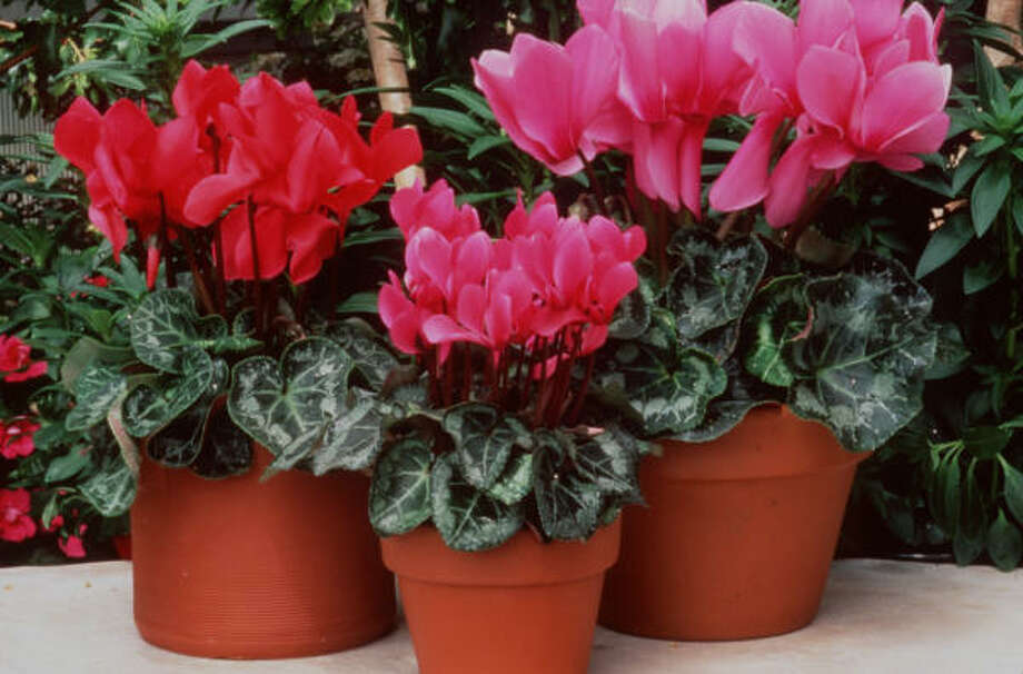 Cyclamen is cold-tolerant and will bloom until it becomes too warm in late spring. Photo: Goldsmith Seeds