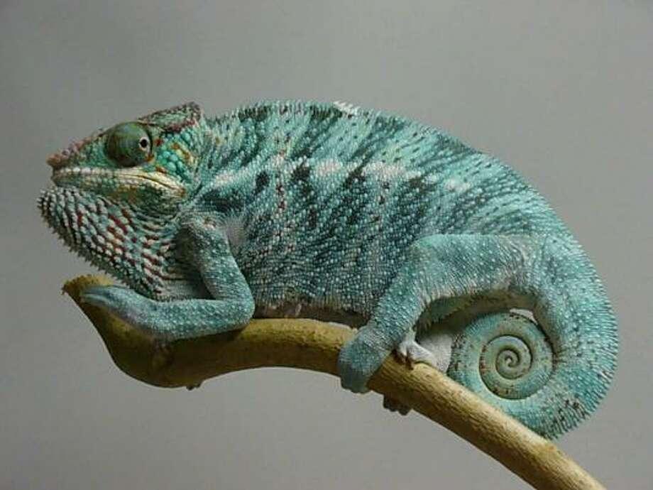 A panther chameleon. Photo: Moody Gardens, Galveston