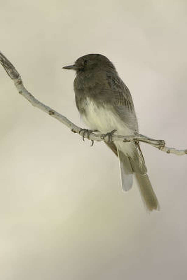 Birds such as this black phoebe are attracted by the water and trees at  Peña Park just south of Marathon in far West Texas. Photo: Kathy Adams Clark