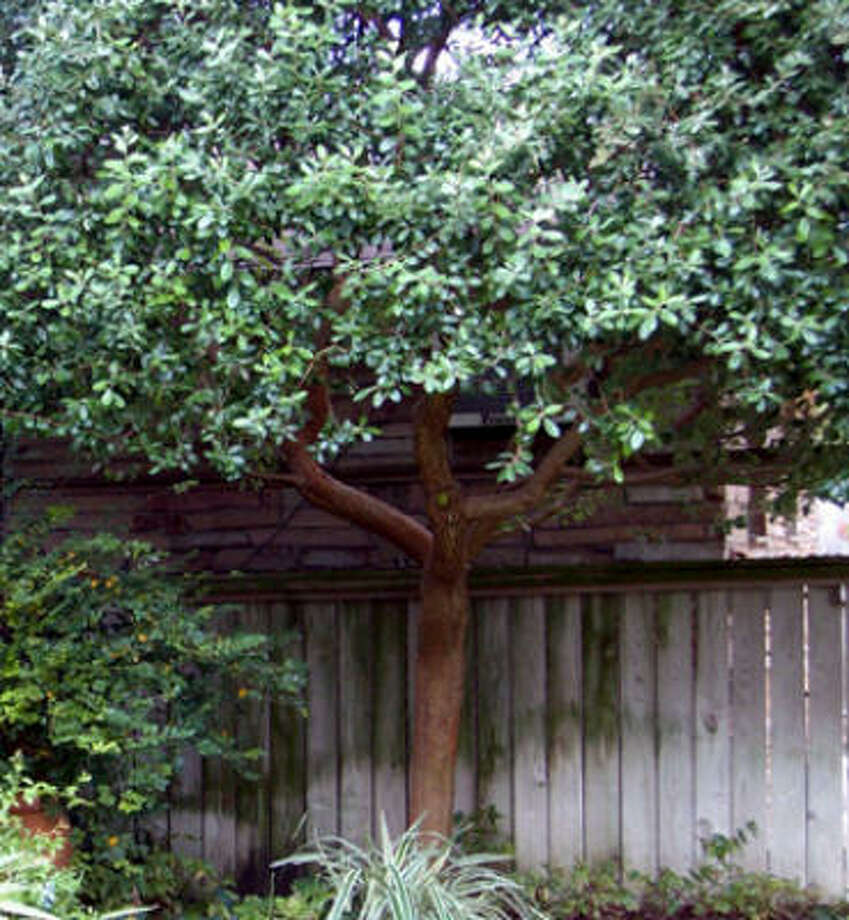 Evergreen pineapple guava provides an excellent privacy screen in the garden. Here it hides a neighbor's unsightly air-conditioning window unit. Photo: Suzy Fischer, Urban Harvest