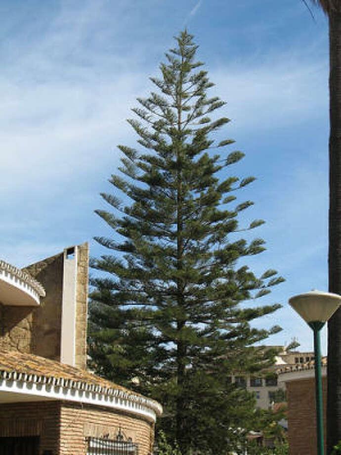 Norfolk pine Photo: Tree-species, / Flickr.com