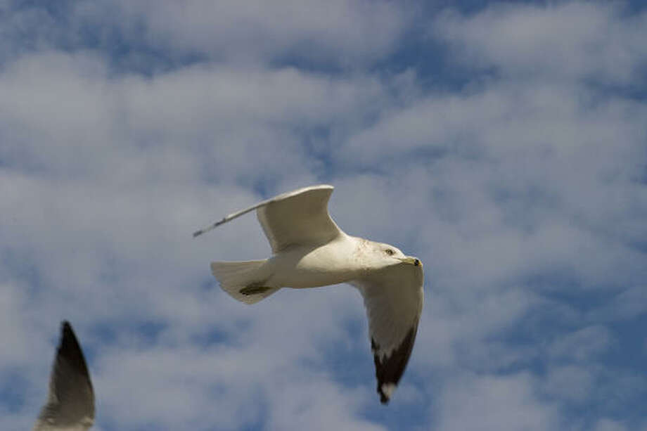Fall is a good time to watch birds along the coast such as this ring-billed gull. Photo: Kathy Adams Clark