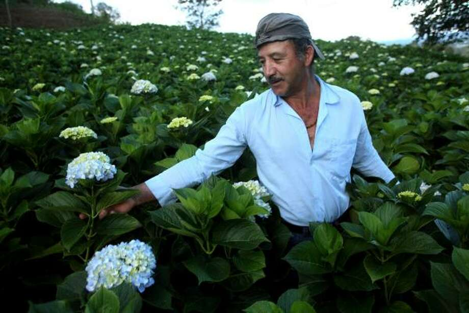 Jairo Lopez, working amid a field of flowers on his own farm outside La Ceja, says he was fired just days after joining a group trying to form a union at the Bochica flower-export plant. Photo: Scott Dalton, For The Chronicle