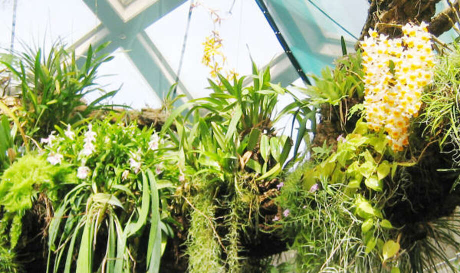 Dendrobium orchids grow on a tree branch. Photo: Brenda Beust Smith