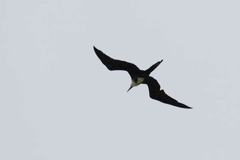 Frigatebirds soar above the Texas coast with wings that span seven-and-a-half feet. Photo: Kathy Adams Clark