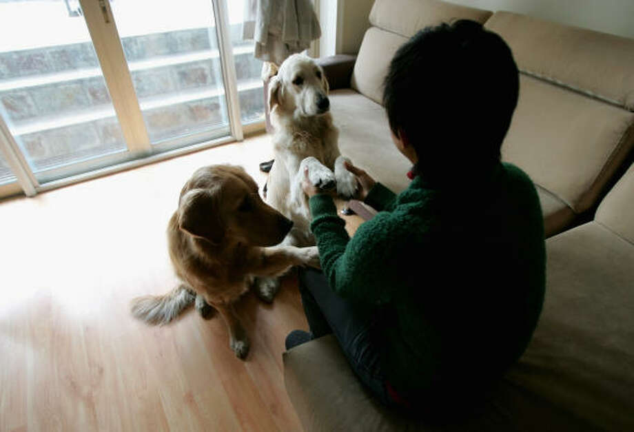 Elaine Loke plays with her two golden retrievers, Hippy, left, and Bally, in her Beijing apartment last week. Loke, from Hong Kong, plans to close the dog boutique she owns and rush her pets out of Beijing to avoid having them confiscated under a renewed clampdown on dogs in the Chinese capital. Photo: GREG BAKER, AP