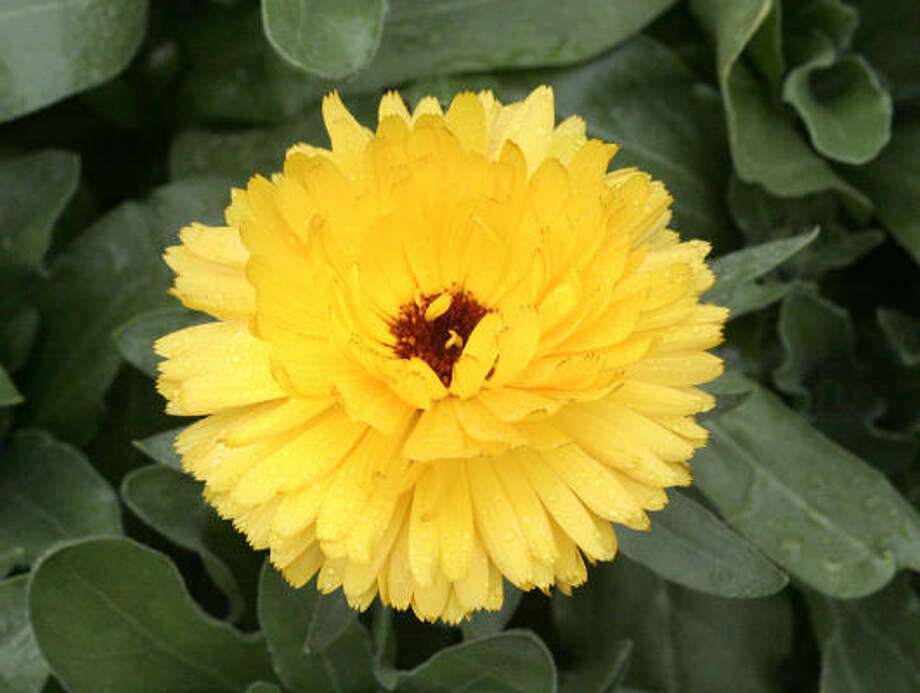 Yellow calendula. Photo: Craig Hartley, For The Chronicle