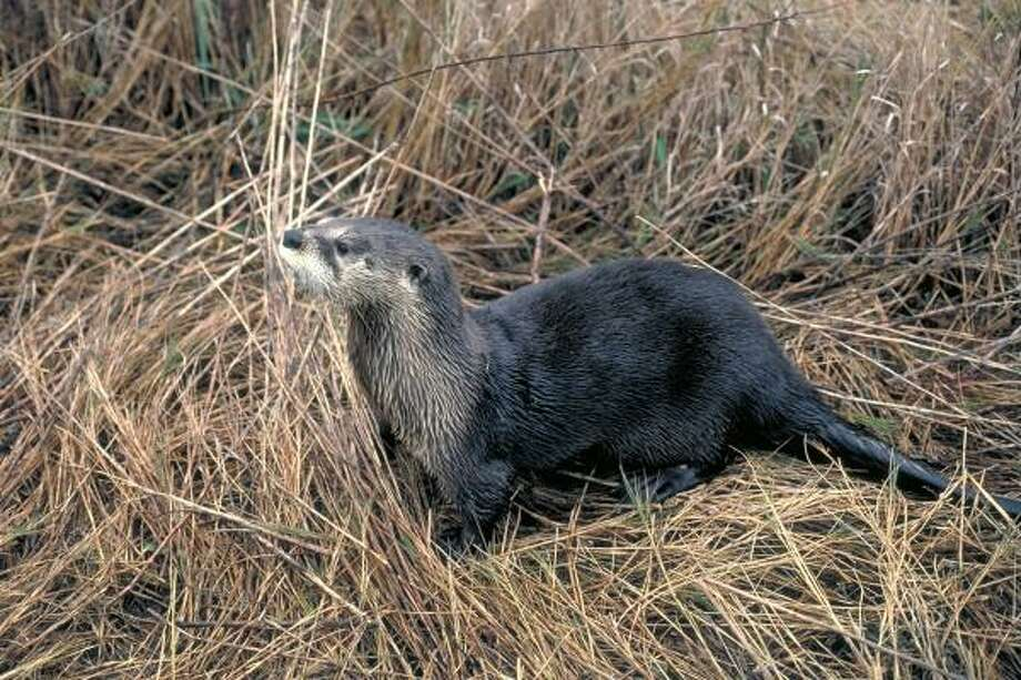 Sightings of river otters have been reported recently in areas of Texas from which the animated animals have been absent for decades. Photo: AP