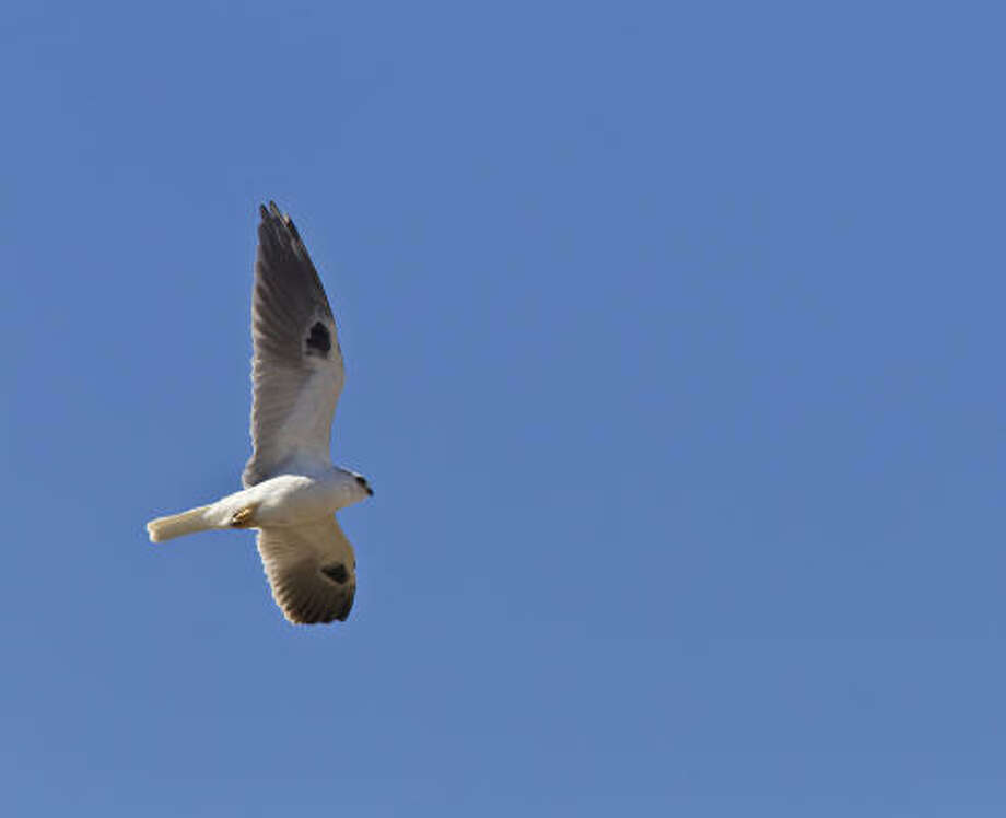 White-tailed kites are beautiful to watch as they hover overhead. Photo: Kathy  Adams Clark