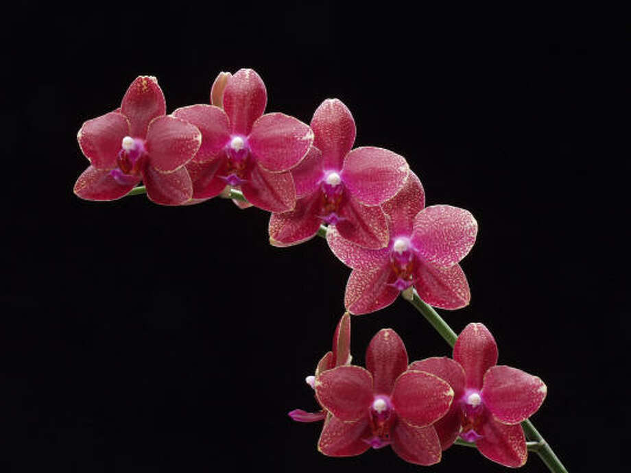 How To Care For Grocery Store Orchids Houston Chronicle