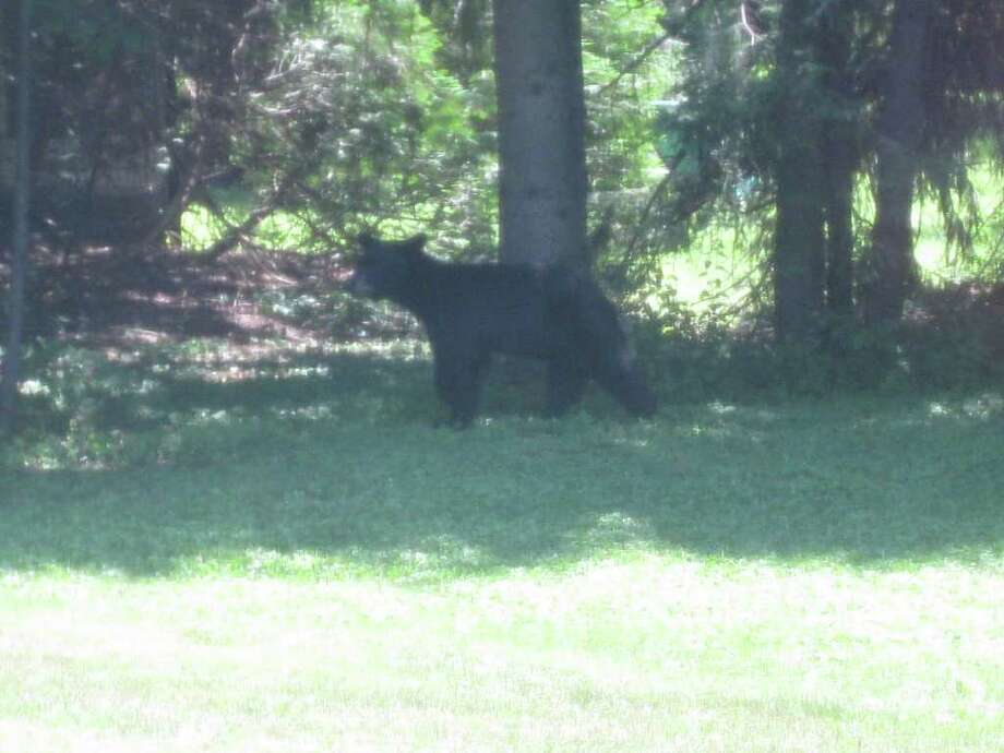 The black bear was photographed Sunday in resident Mike Foote's backyard near the intersection of Inman Road and Route 7 in Niskayuna. (Courtesy: Mike Foote)