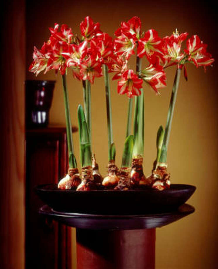 Plant multiple amaryllis bulbs per pot. Photo: Netherlands Flower Bulb Info Center