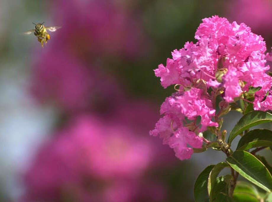 A bee buzzes around a crape myrtle tree. Photo: KERRY MALONEY, AP