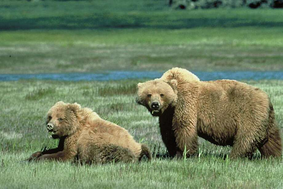 Grizzly bears Photo: CHRISTOPHER SERVHEEN, Handout / AFP