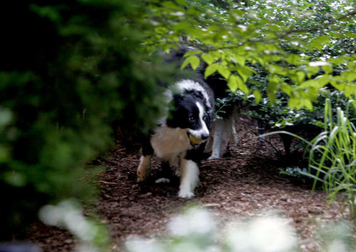 Marcy, a border collie, plays in the dog-friendly garden of Christine Dickinson in Grosse Pointe, Mich.