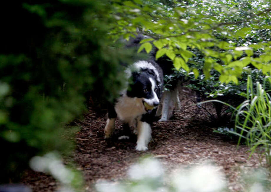 Marcy A Border Collie Plays In The Dog Friendly Garden Of Christine Inson