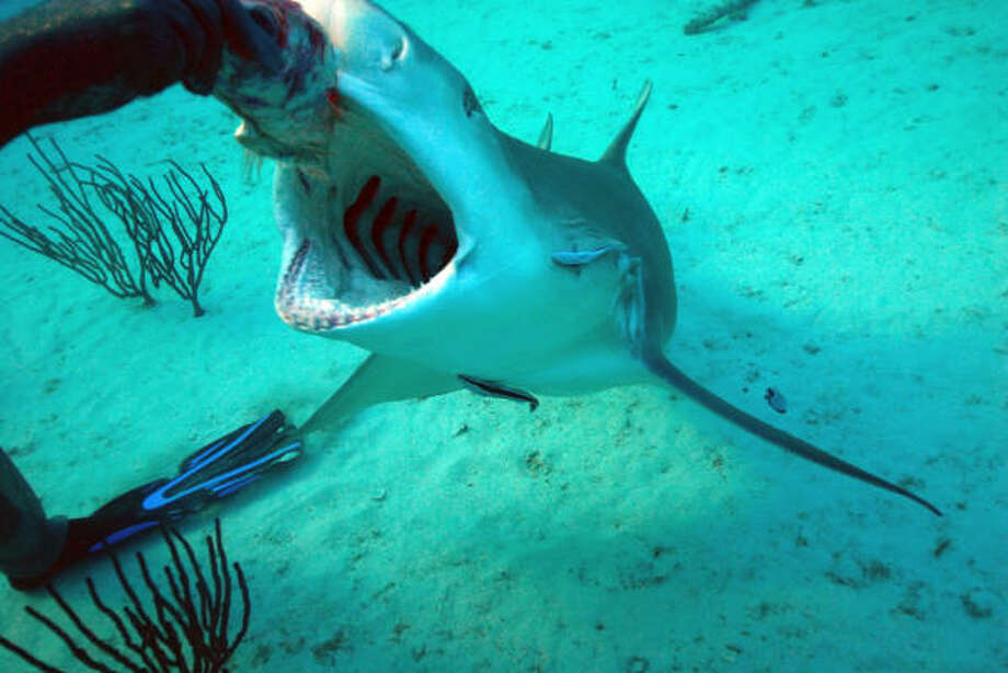 4. Species name: Carcharhinus (genus)Common name: Various sharks in the requiem familyNon-fatal attacks: 39Fatal attacks: 7 Photo: Caterina Gennaro