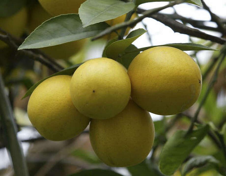 'Meyer' lemon Photo: JAMES NIELSEN, CHRONICLE