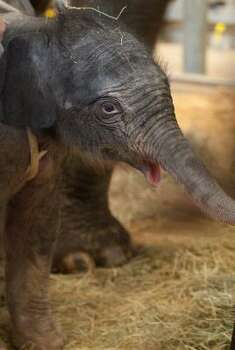 Tupelo, born 2010 at the Houston Zoo, is being sequestered with her mother, Tess, to encourage them to bond. The Asian elephant calf may make her public debut this weekend. Photo: Houston Zoo