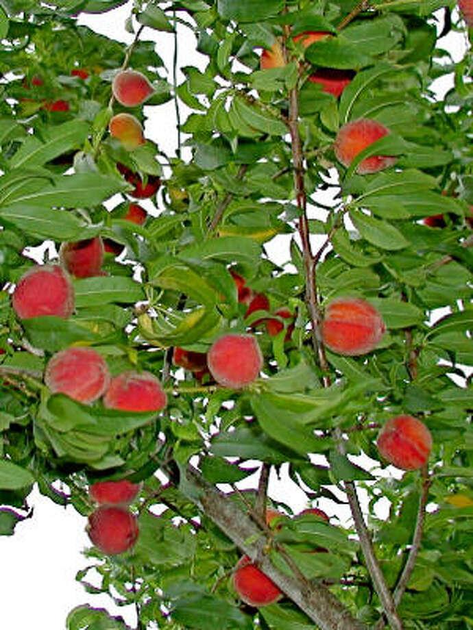 'Tropic Snow' peaches Photo: Urban Harvest