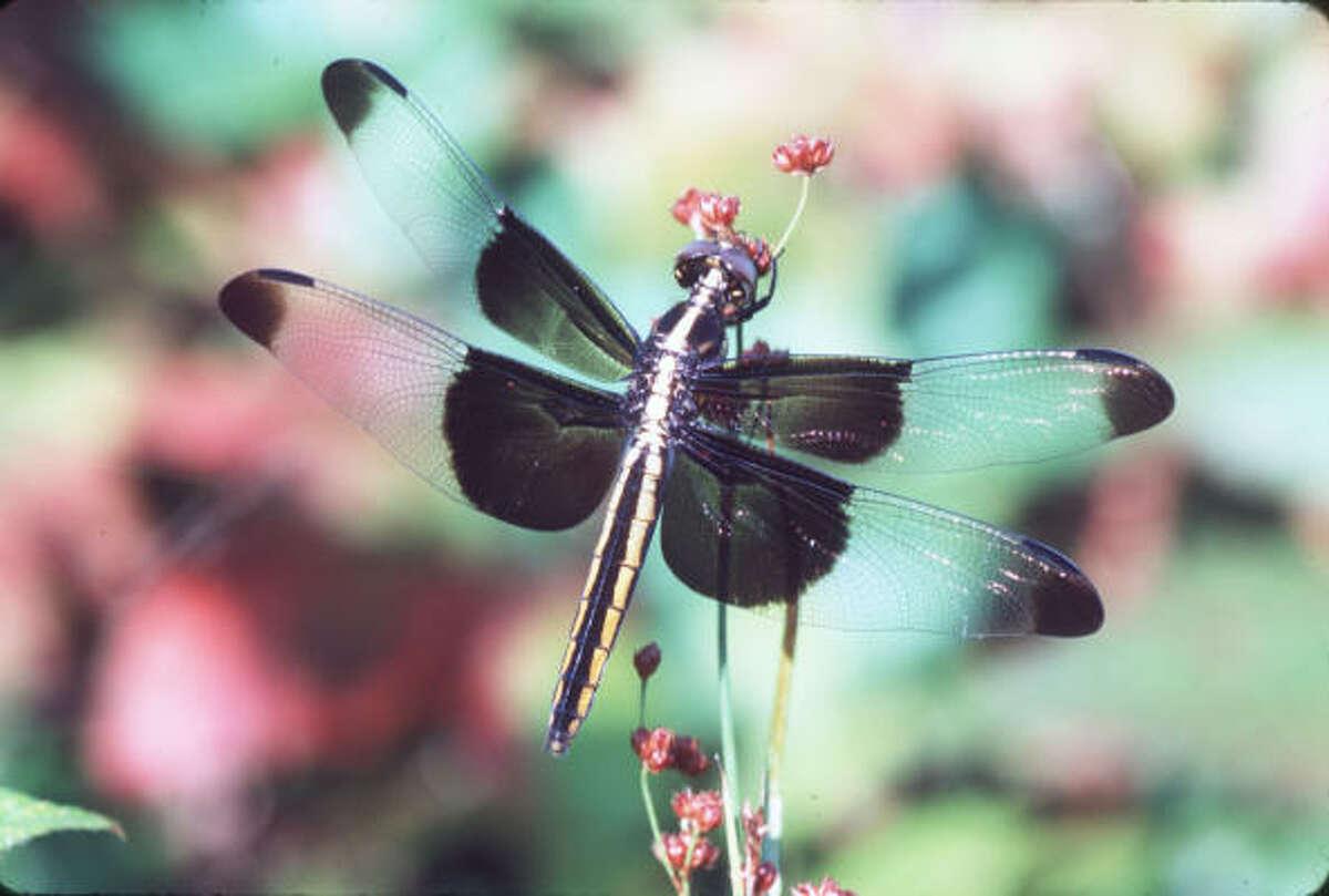 Widow Skimmer dragonfly, female. In a weedy roadside area near ponds.