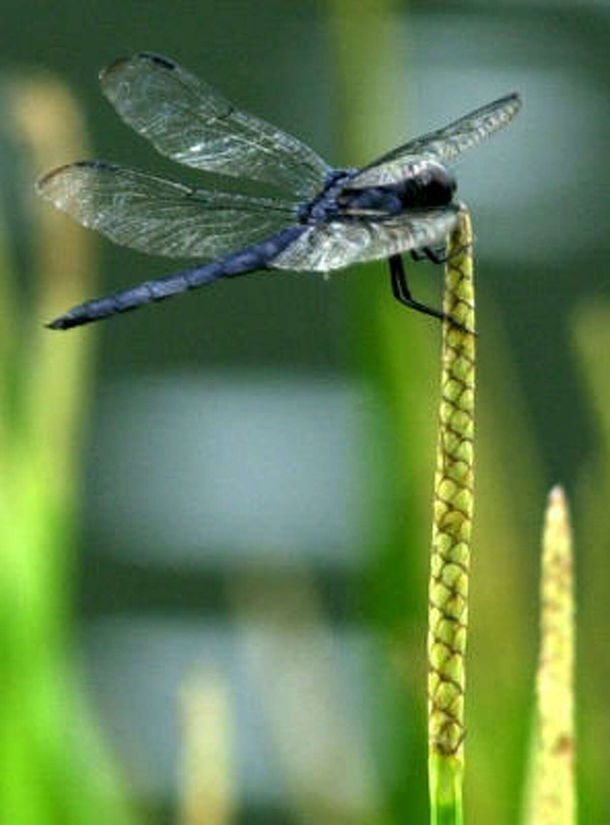 A skimmer dragonfly perches on a water plant at Shores Lake in Franklin County, Ark., after a rain shower.