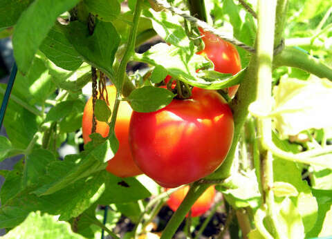 What's wrong with my tomatoes? - Houston Chronicle