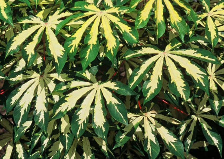 Variegated manihot Photo: Dawn Stover, For The Chronicle
