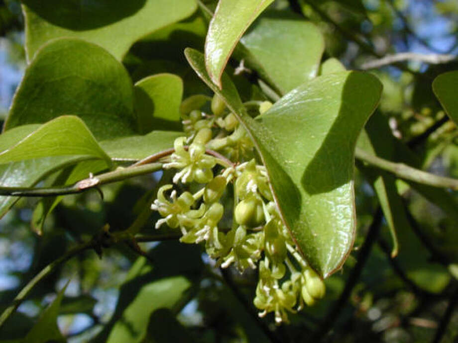 Smilax bona-nox Photo: LADY BIRD JOHNSON WILDFLOWER CENTER