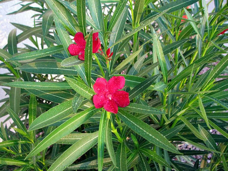 Oleander Photo: BethinAZ, Http://flickr.com/creativecommons/by-2.0/