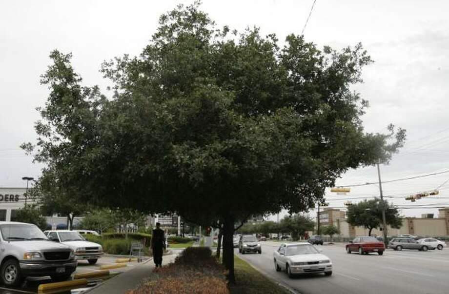 The trees along Kirby Drive between Westheimer and Richmond are scheduled to be removed and destroyed. Photo: JULIO CORTEZ, CHRONICLE