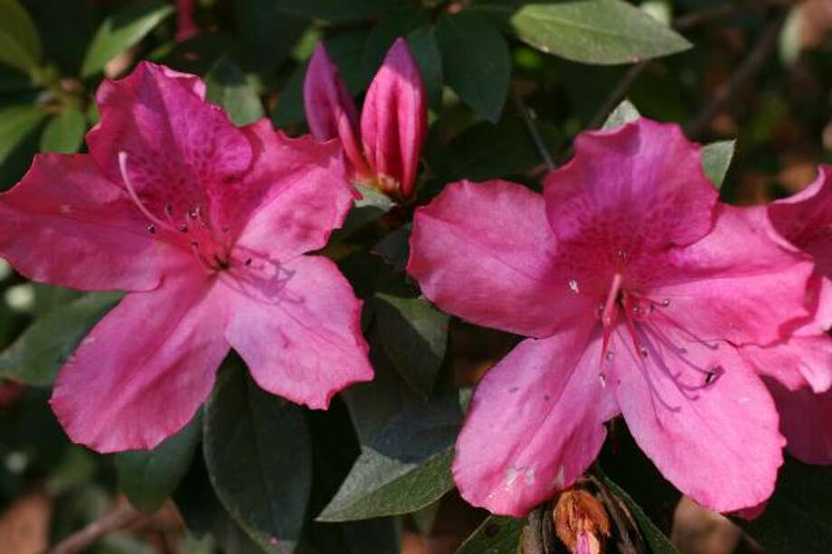 Azaleas at Bayou Bend Photo: Sharon Steinmann, Chronicle