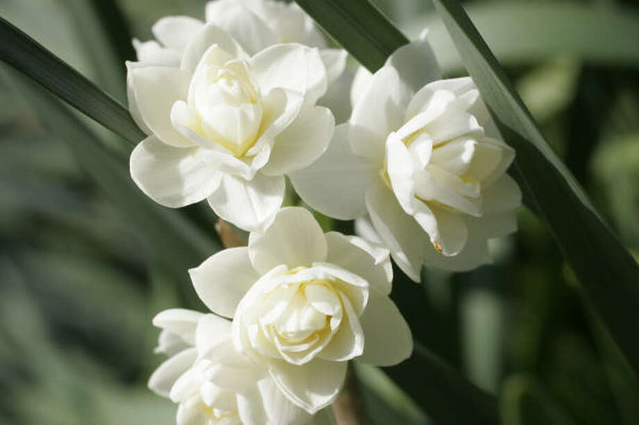 These highly fragrant narcissus resemble double white roses. Care-free narcissus make their appearances year after year.  Create your own white winter garden | Submit your garden photos | Houston Plant Database | HoustonGrows.com Photo: Kathy Huber, Chronicle