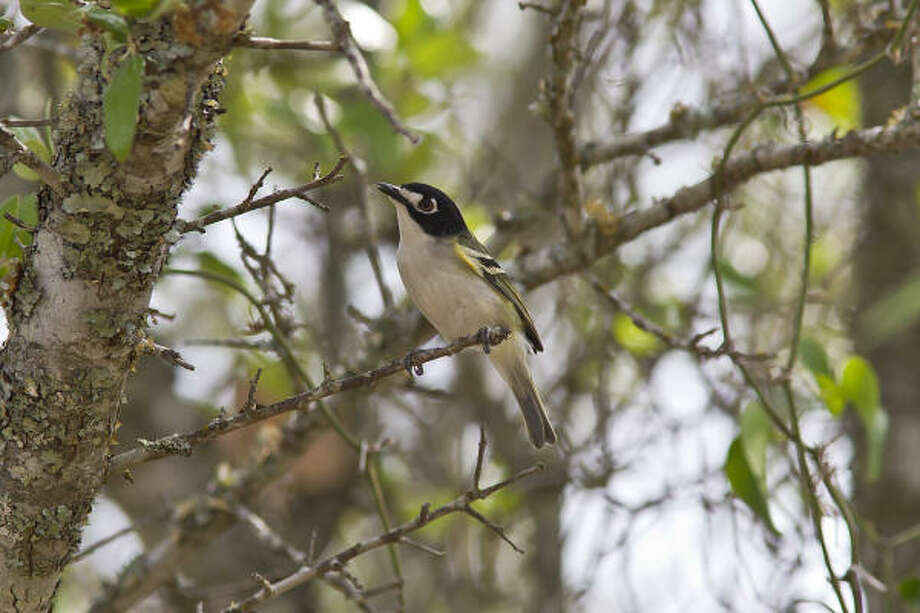 Black-capped vireo numbers are growing in the Hill Country thanks to sound land management. Photo: Kathy Adams Clark