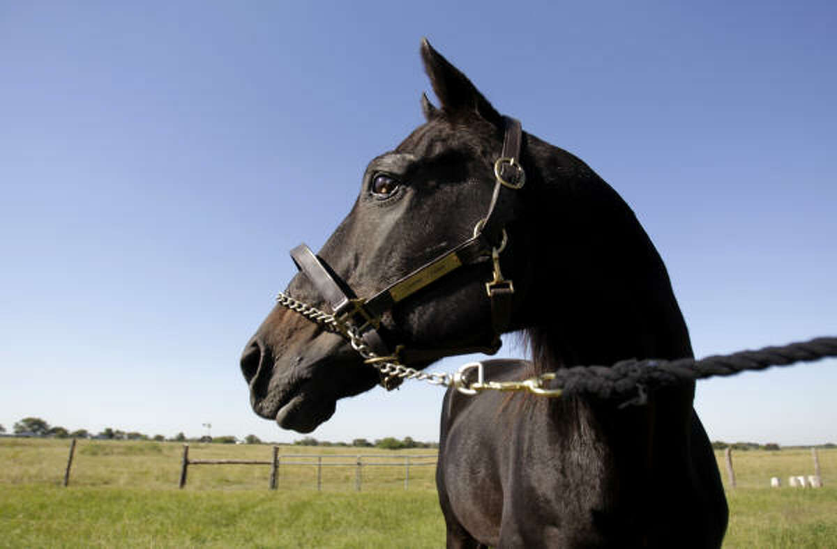 25-year-old, Country Side, one of the last living sons of famed racehorse Secretariat resides these days in Needville, where he resides as a stud.