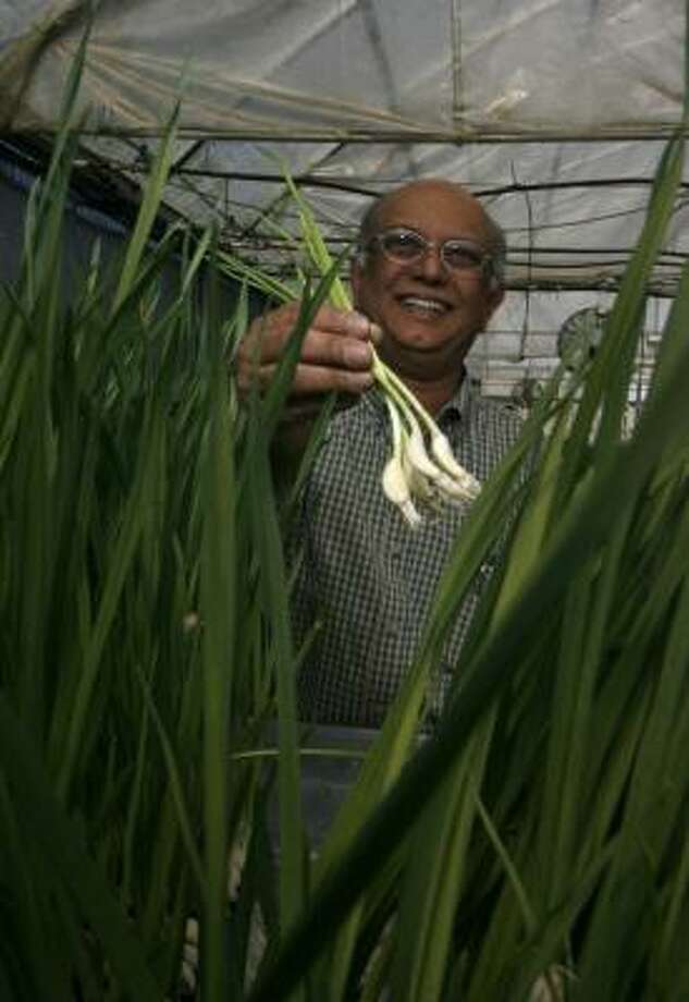 Hydroponics helped Dilip Naik develop his company, Gourmet Country Farm in Rosenberg, allowing him to grow fresh green garlic year-round. Photo: JOHNNY HANSON PHOTOS, CHRONICLE