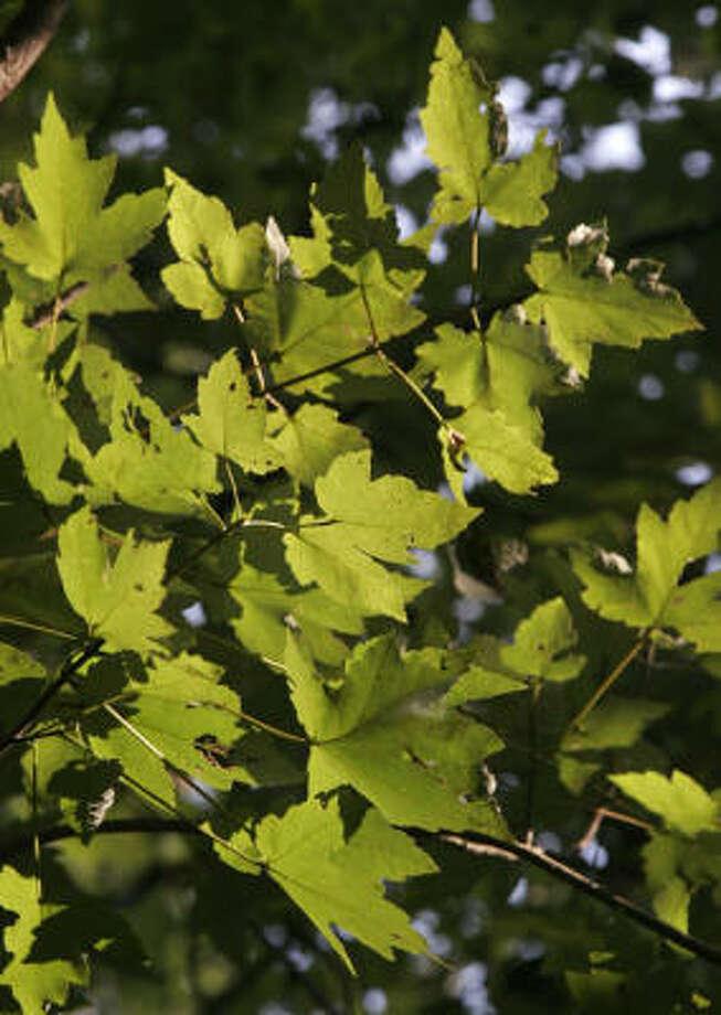 Drummond red maple, Acer rubrum drummondii Photo: John Everett, For The Chronicle