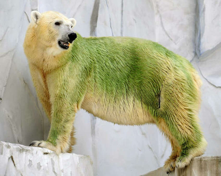 A polar bear, its fur stained with algae, stands in its cage at Higashiyama Zoo in Nagoya, central Japan, on Saturday. Photo: Shuzo Shikano, Associated Press