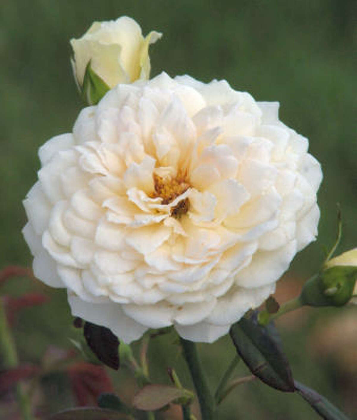 Sombreuil, a fragrant rose that is large, flat-quartered with creamy white blooms.