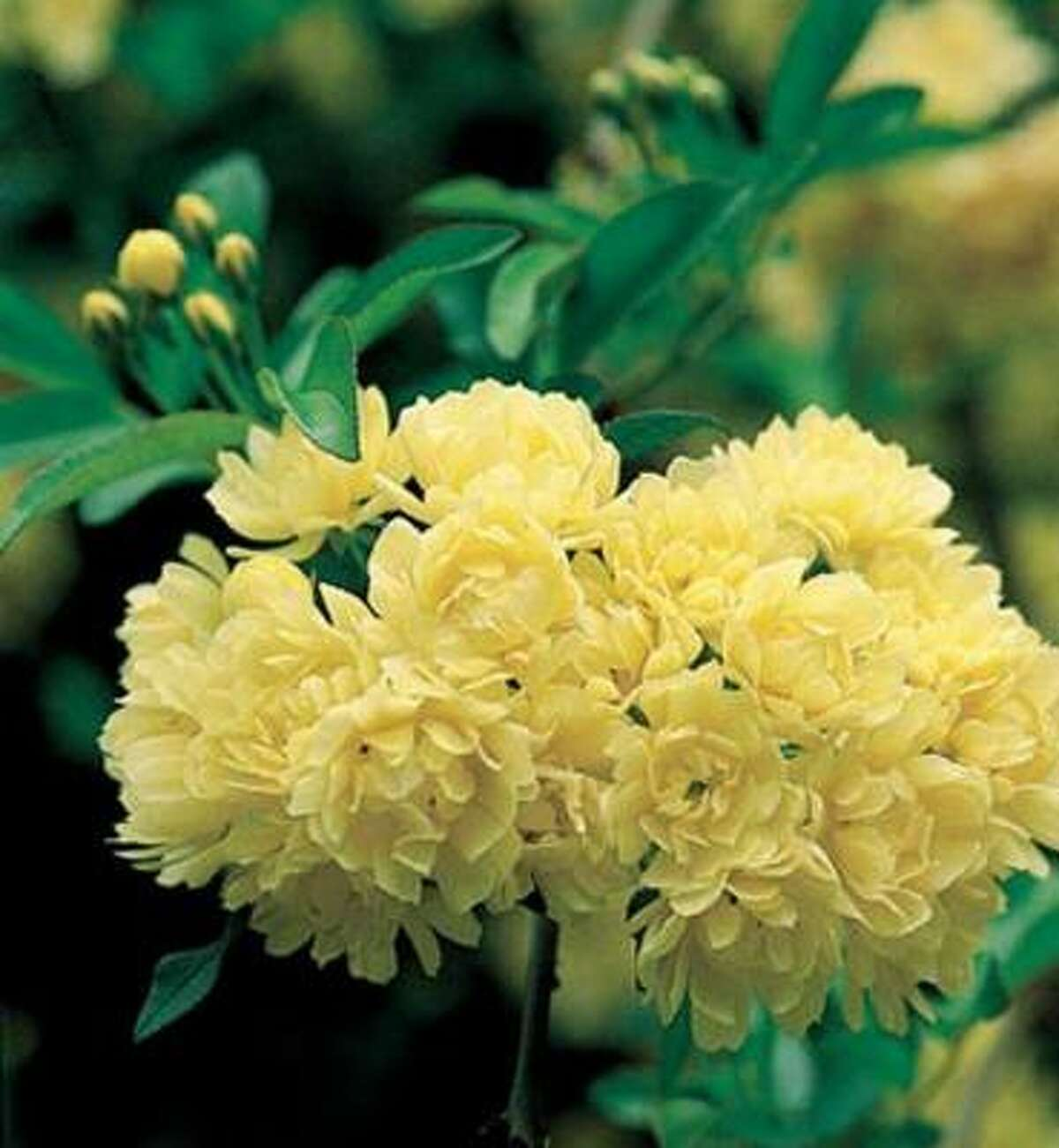 'Lady Banks' yellow rose produces a profusion of spring blooms.