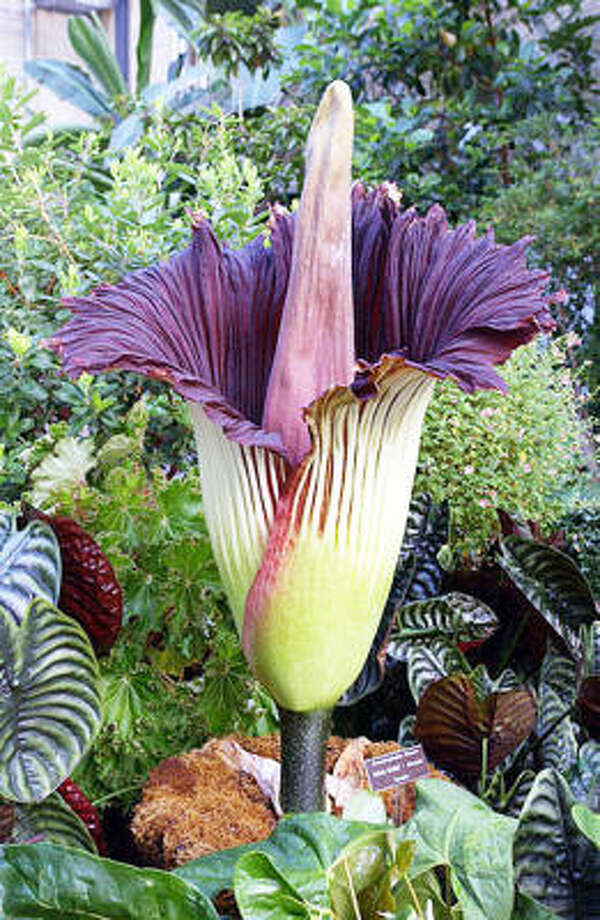 Amorphophallus titanum, or corpse flower. Photo: Deni Brown, Contributed Photo