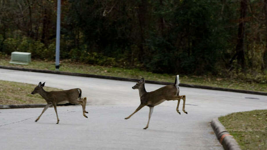A pair of deer run across Vail Drive in the Walden on Lake Conroe subdivision on Wednesday. The Walden community on Lake Conroe is trapping to reduce the population in the area. Photo: Brett Coomer, Chronicle