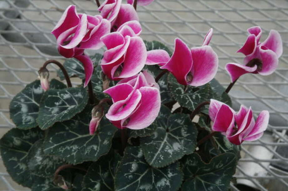 Mini cyclamen at the Brookwood Community in Brookshire in 2008. Photo: Steve Ueckert, Chronicle