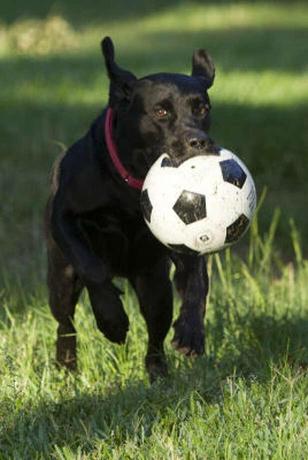 Kona, a black Lab, fetches a ball. Photo: Brett Coomer, Chronicle
