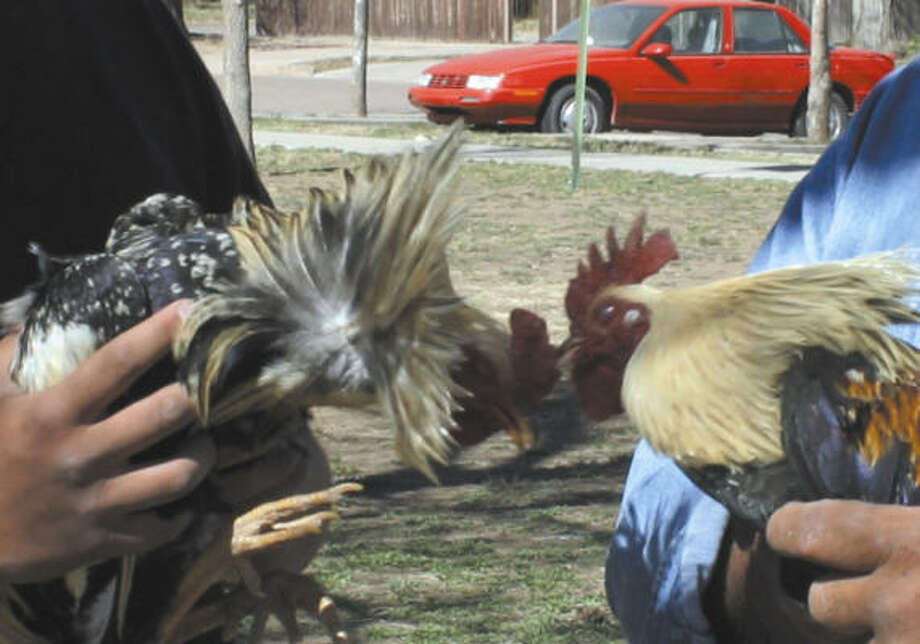 Two fighting roosters try to attack one another as they are held by Alfredo Flores, left, and Jose Gonzales in Las Vegas, N.M., Wednesday. A  statewide cockfighting ban goes into effect there June 15. Photo: DAVID GIULIANI, ASSOCIATED PRESS