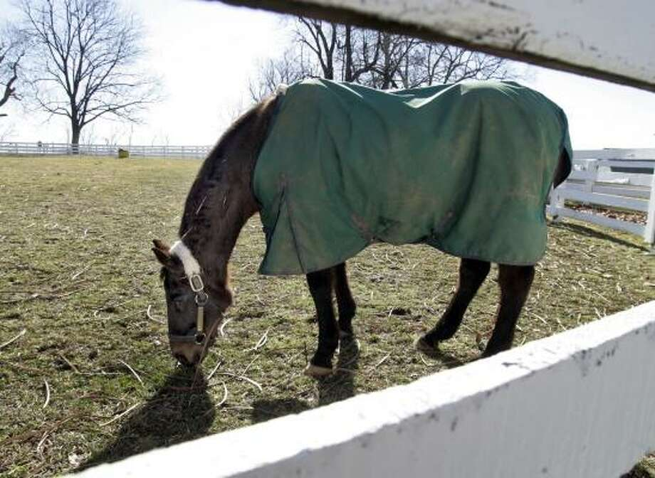 Retired thoroughbred racehorse John Henry grazes in a paddock near his stall March 2, 2007, at the Kentucky Horse Park near Lexington Ky. John Henry was euthanized on Monday after kidney problems prevented him from staying hydrated. Photo: James Crisp, AP