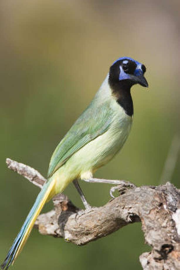 The green jay of south Texas is a spiffy tropical bird. Photo: Kathy Adams Clark